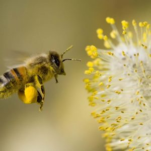 honey-bee-flowers-widescreen-wallpapers-1920-1200