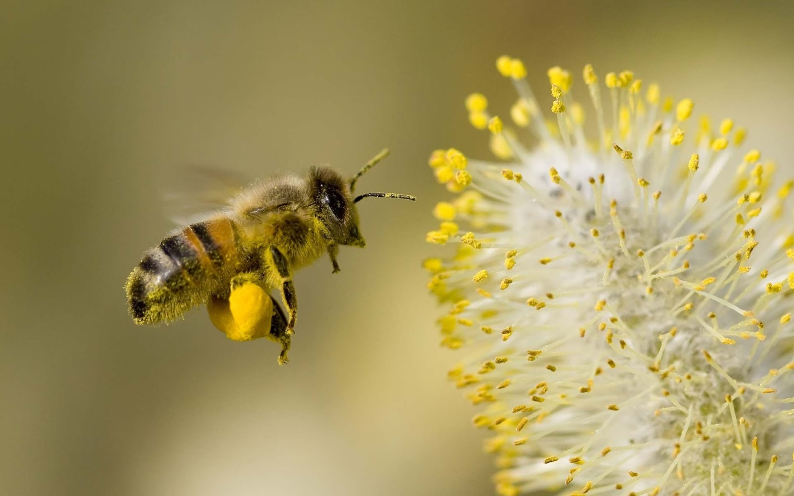 honey-bee-flowers-widescreen-wallpapers-1920-1200